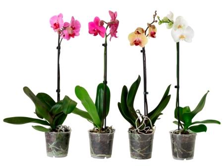 Orquídea em vaso, IKEA (PVP: 5,99 €)